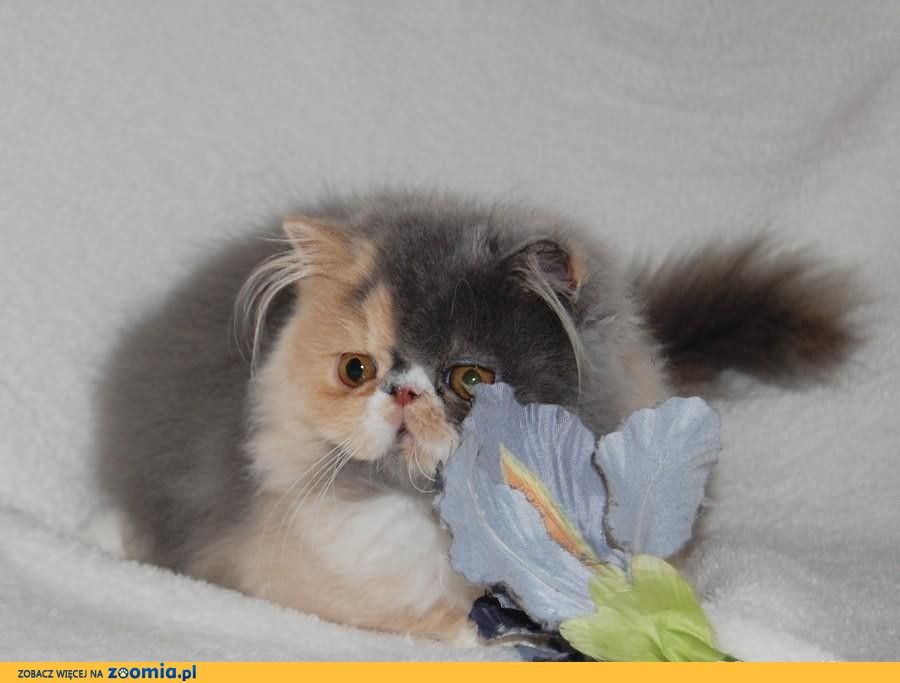 Sprzedam Kotkę perska!