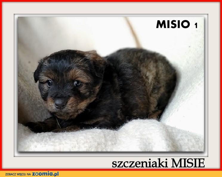 2 m-ce szczeniaki,dwa pieski docelowo duże,szczepione MISIE_Adopcja_