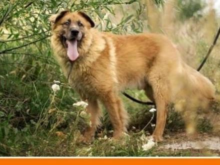 4 lata  duży 40 kg  odważny do domu z ogrodem  pies PUCHATEKAdopcja   dolnośląskie Wrocław
