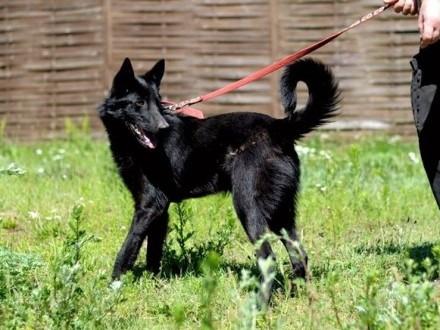 Cudowny Czesio - czarny  młody owczarek :)