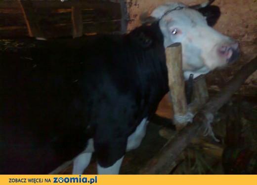 spszedam krowę,  świętokrzyskie Busko-Zdrój
