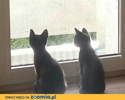 Kociaki: Perro i Pera szukają domów