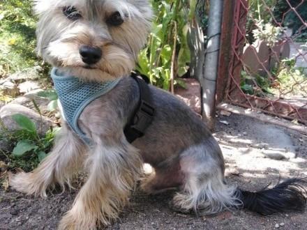 York Shire Terrier Reproduktor