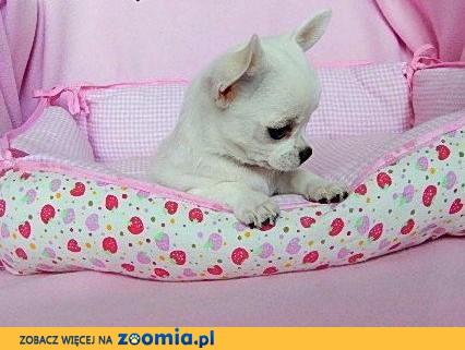 Chihuahua suczka biała,  dolnośląskie Wrocław