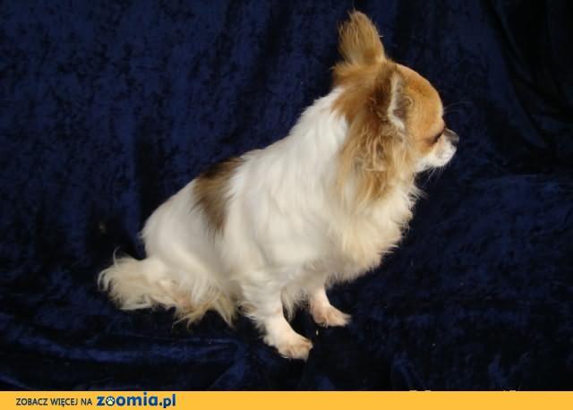 Chihuahua suczka 2, 5 letnia