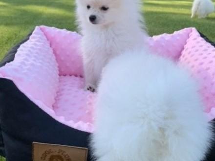 Szpic miniaturowy Pomeranian BOO z rodowodem