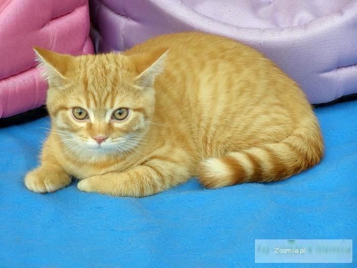 Kot Brytyjski Ogłoszenia Z Hodowli Koty Brytyjskie Zoomiapl Pl 4