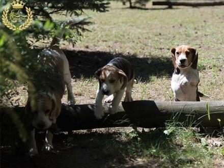 Beagle szczenię sprzedam