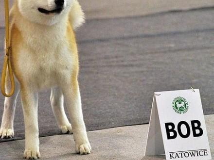 Akita - szczenięta po imporcie Japonii