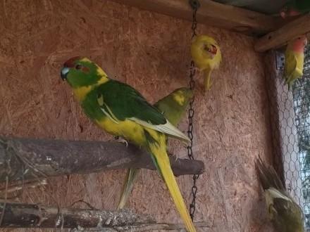 Papugi kozy nimfy nierozlaczki