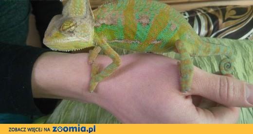 Kameleon + terrarium + wyposażenie,  podkarpackie Leżajsk