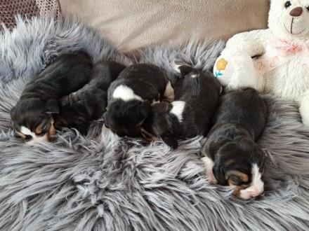 Beagle sunie trikolr - rezerwacja