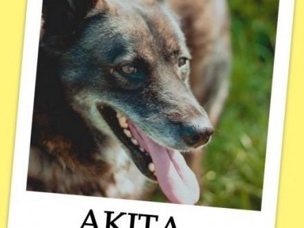 6 letnia suczka  przyjacielska  łagodna spokojna sterylizowana AKITAAdopcja   małopolskie Kraków