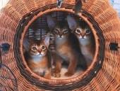 Koty Kocięta Abisyńskie Rodowodowe - GDYNIA