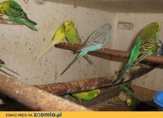 sprzedam papugi faliste ,  Papużki faliste cała Polska