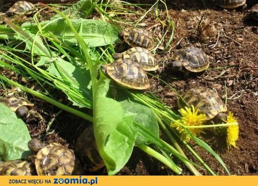 Malusie żółwie Greckie  Warszawa Najtaniej od Hodowcy,  lubelskie Lublin