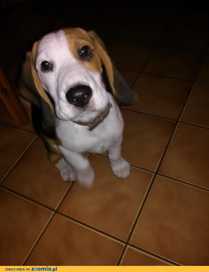 Aktualne Nadal-Piesek Beagle