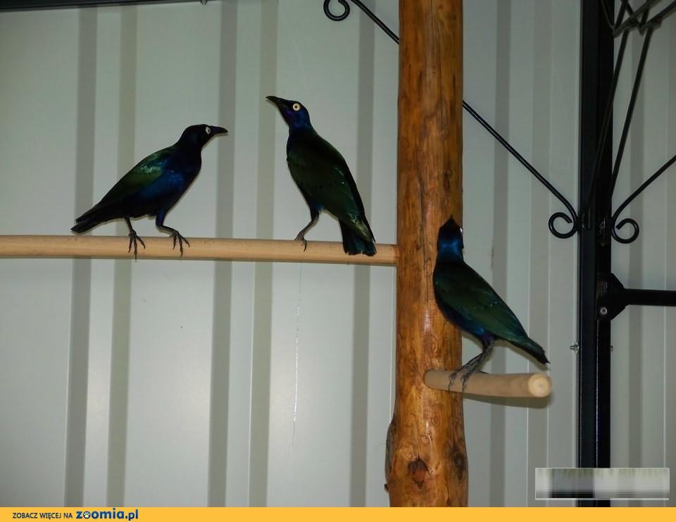 Błyszczaki Purpurowe-Miękkojady