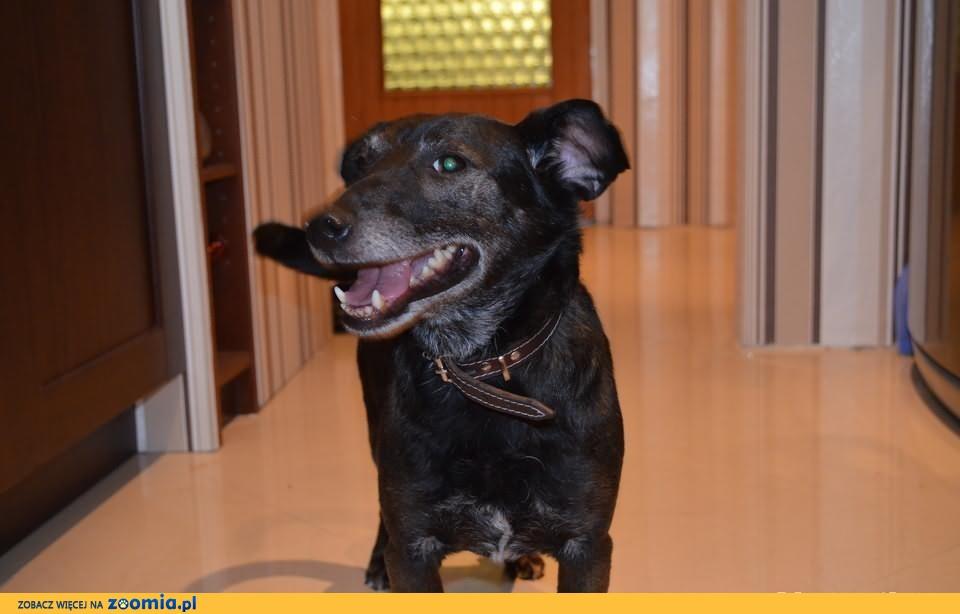 Żwawy pies Tofik zaopiekuje się twoim domem