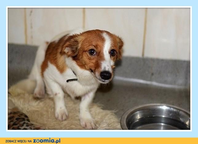 Mała 6 kg, 1 rok, delikatna,łagodna,wrażliwa sunia MANIA_Adopcja