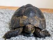 zółw iberyjski z terrarium