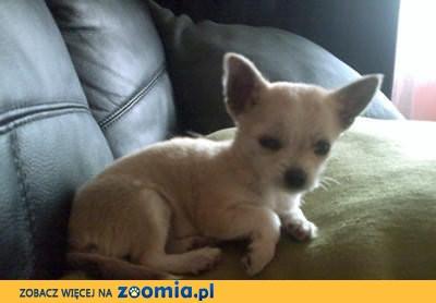 Elegancka Suczka Chihuahua szuka nowego dobrego domku