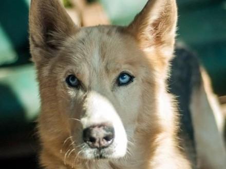 Vlad 8-letni psiak w typie rasy husky ADOPCJA