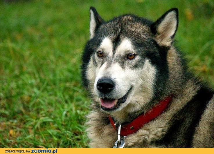 Hektor młody, łagodny alaskan malamute szuka domu