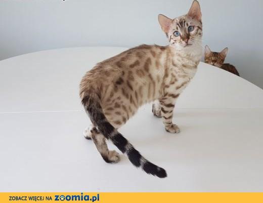 Kot bengalski - śnieżny lampart,  wielkopolskie Konin
