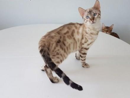 Kot bengalski - śnieżny lart   wielkopolskie Konin