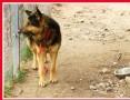 Owczarek niemiecki JOD do stróżowania,czujny,odważny_Adopcja