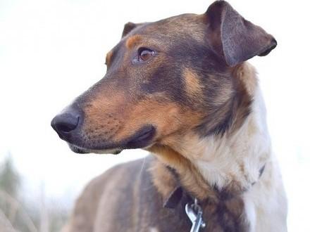 Młody  duży  w typie charta  łagodny towarzyski pies NEMET_Adopcja