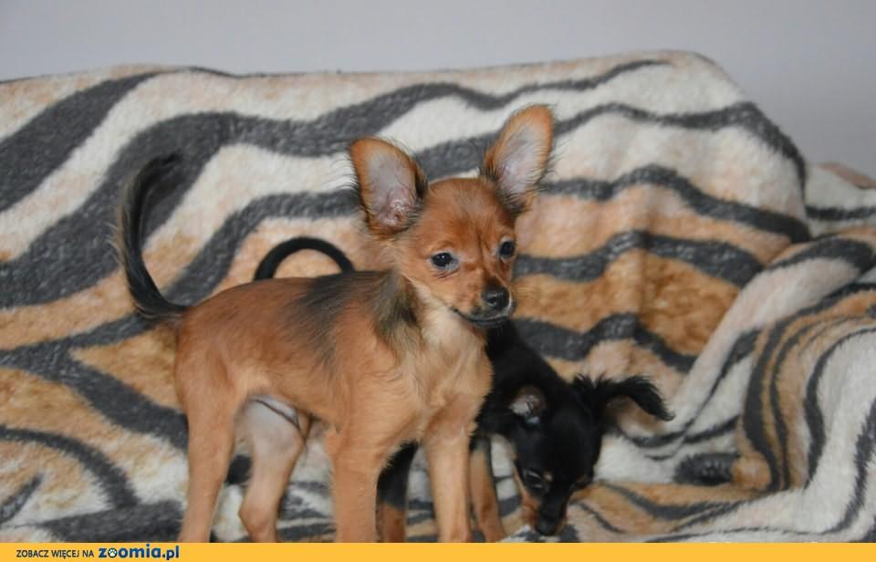 rosyjski toy d�ugow�osy szczeniaki 1500 z� 171 oddam psa