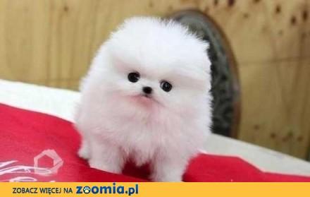 GRATIS Czystej Pomeranian Szczenieta na Adopcja_