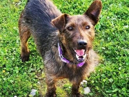 SZOREK - nieduży  kochany psiak w typie terriera do adopcji   mazowieckie Warszawa