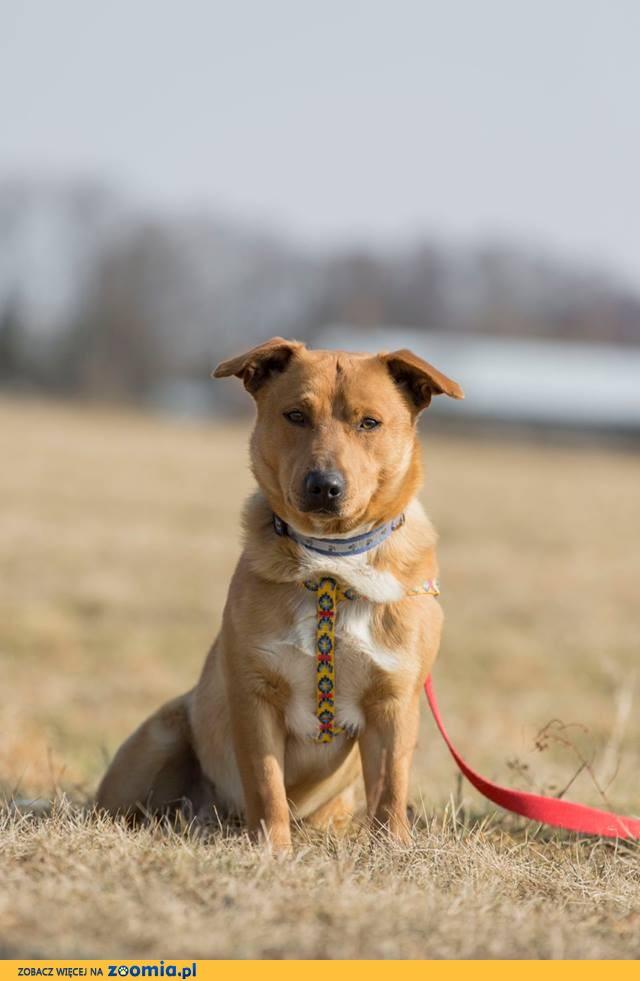 Rudzik, nieduży, psiolubny psiak szuka odpowiedzialnego domu!