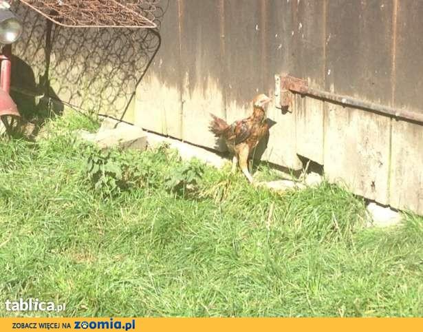 Bojowiec Malajski- jaja lęgowe!!!
