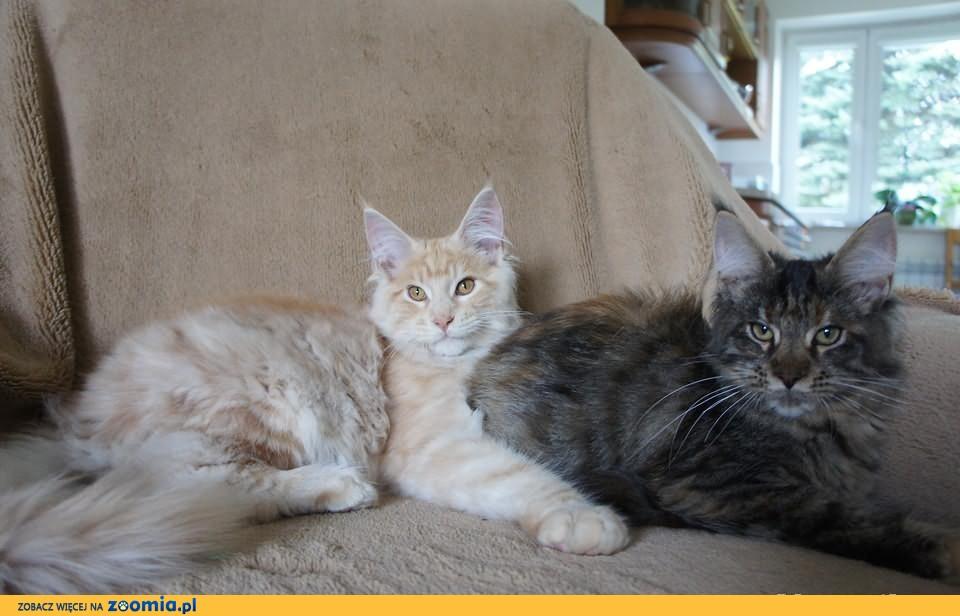 Kocięta MAINE COON --- RODOWÓD ---gotowe do odbioru