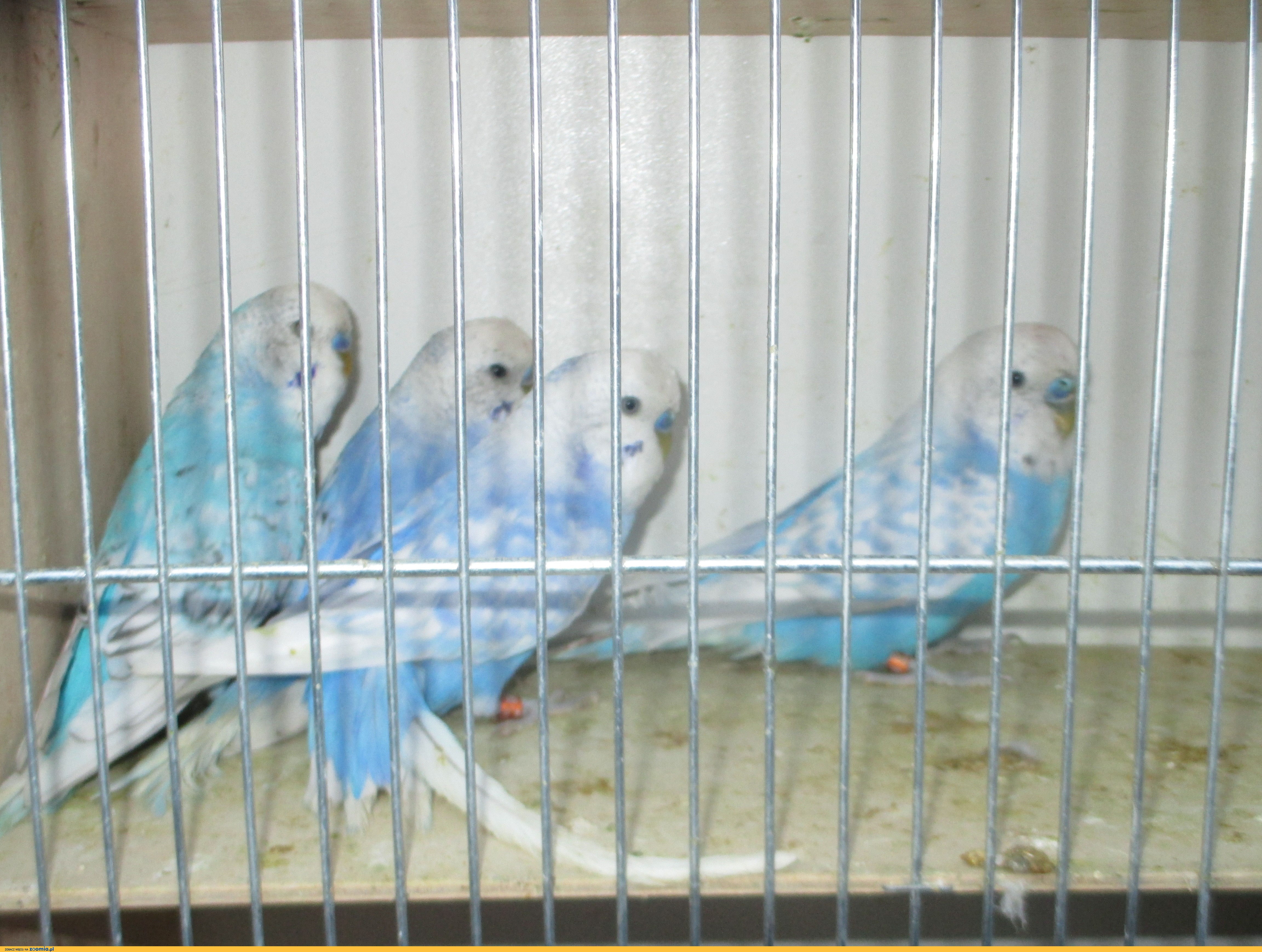 Papużki faliste- samce