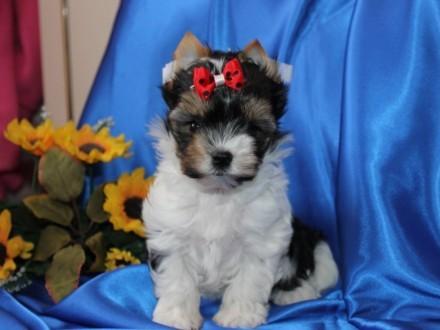 Piesek-Biewer yorkshire Terrier po Chionach