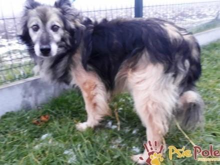 KONIK-spokojny  grzeczny  miły starszy psiak szuka domu  adopcja