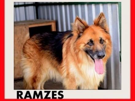 RAMZES owczarek mix uratowany pies do domu z ogrodemADOPCJA   mazowieckie Warszawa