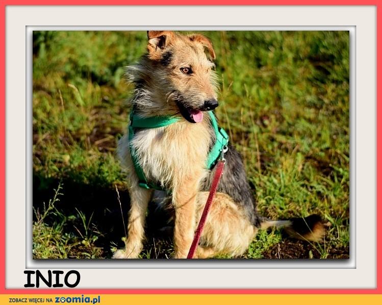 Średni,zaszczepiony, łagodny,spokojny,tulaśny,rodzinny psiak INIO_Adopcja