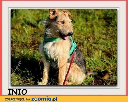 Średni zaszczepiony  łagodny spokojny tulaśny rodzinny psiak INIO_Adopcja