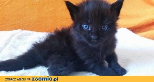 Maine Coon Kocur Czarny Koty Maine Coon Cała Polska Koty