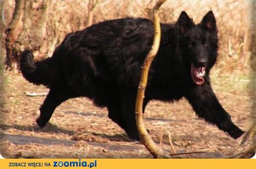 Owczarki Niemieckie Długowłose ! STARONIEMIECKIE !,  Owczarek niemiecki cała Polska