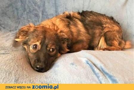 MISIA – roczna szczeniaczka wyrzucona na śmietnik; szuka domu,  małopolskie Kraków
