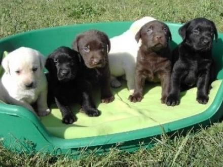 Piękne Labrador puppy z papierami gotowych!   podkarpackie Jasło