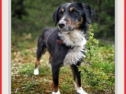 11kg grzeczny idealny łagodny cichy rodzinny pies TREFLADOPCJA   śląskie Katowice