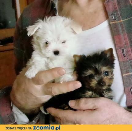 Genialny Maltańczyki małe białe pieski « Yorkshire Terrier « Psy « Archiwum PE35